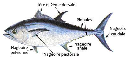 Pêche sportive du thon en méditerranée