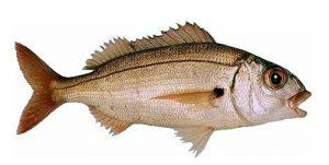 Le Galet ou pageot Acarné - La pêche plaisir en Pays Catalan